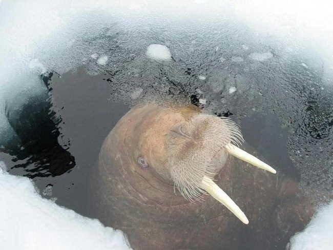 Привет от моржей