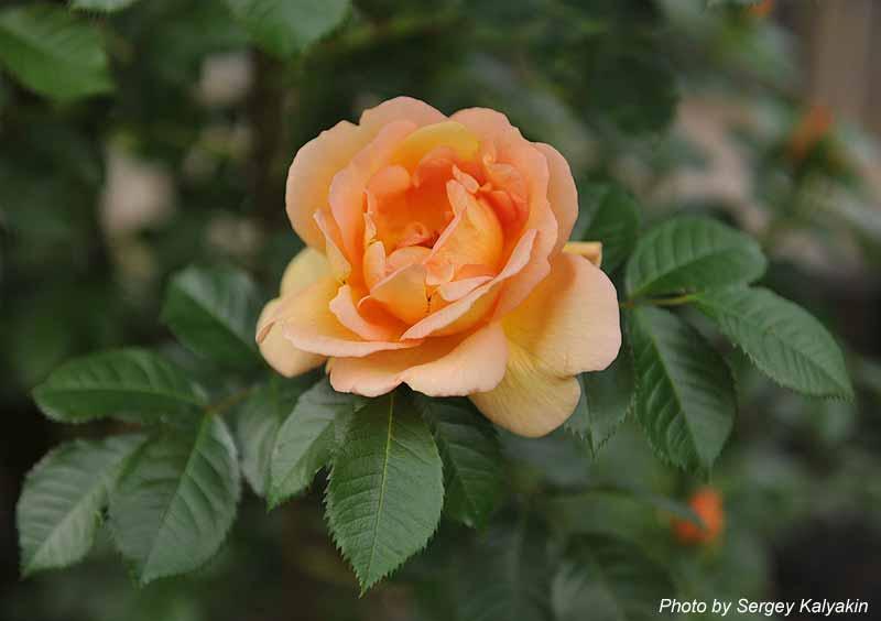 Rosa Maigold (12).jpg