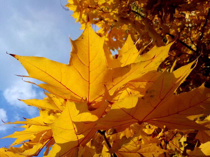 Листья жёлтые-20-10-2015-2.jpg