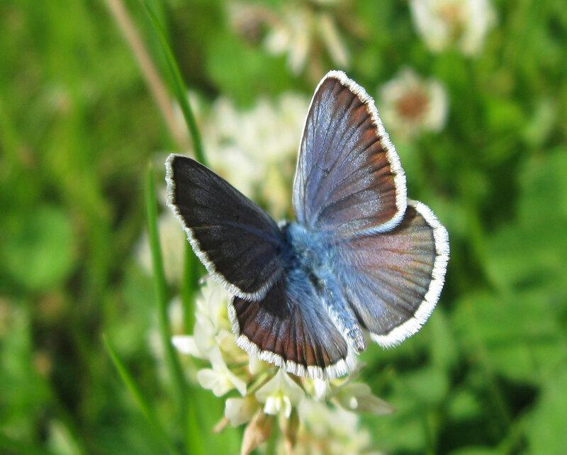 Голубянка Аргус (Plebeius argus). Автор фото: Олег Селиверстов