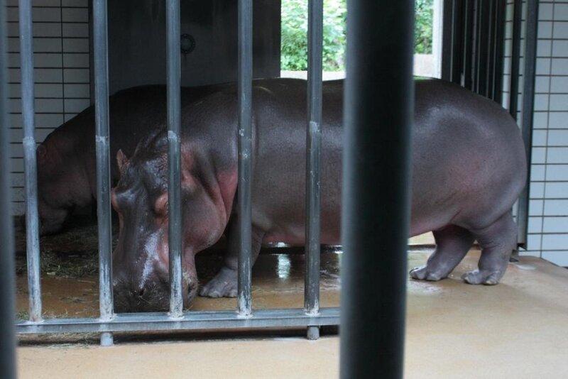 Смесь бульдога с носорогом в поисках дома