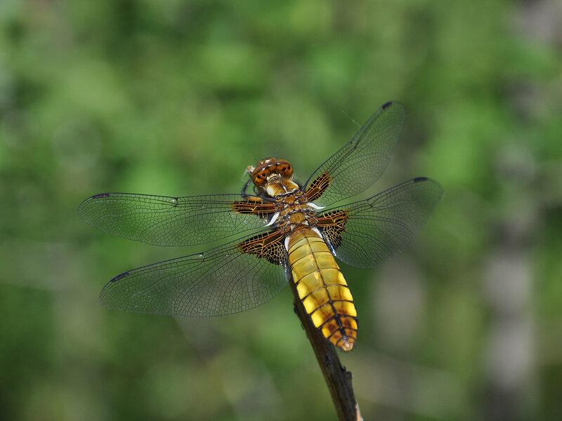 Стрекоза плоская (Libellula depressa) Автор фото: Владимир Брюхов