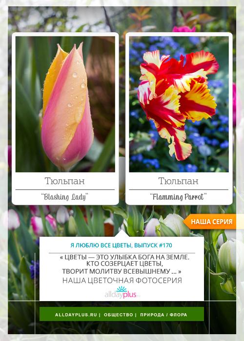 Я люблю все цветы, выпуск 170 | Тюльпаны «Blashing Lady» и «Flamming Parrot».