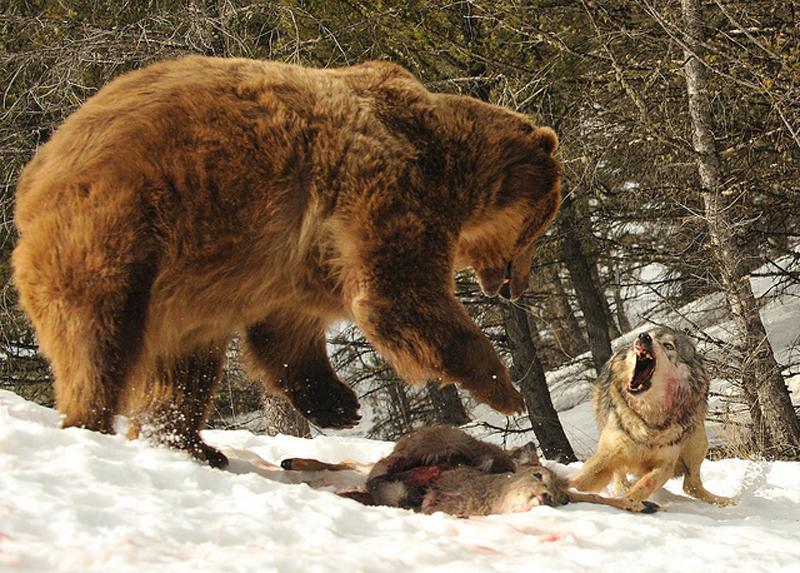 6. Волк против медведя. Волк пытается отщипнуть кусочек от туши косули, которой как раз собирался по
