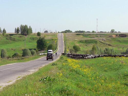 Стадо коров перебежало дорогу