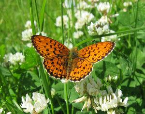 s:бабочки,s:дневные бабочки,l: переднего крыла до 24 мм