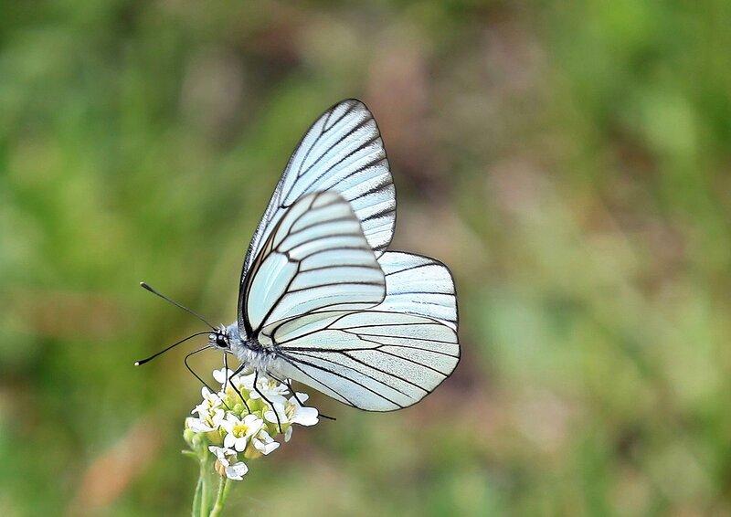 Бабочка-боярышница ( Aporia crataegi), самец