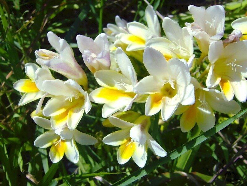 Небольшого роста, на одном стебле несколько цветочков, напоминающих колокольчики.  Но самое удивительное - это их...