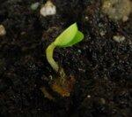 росток вяза