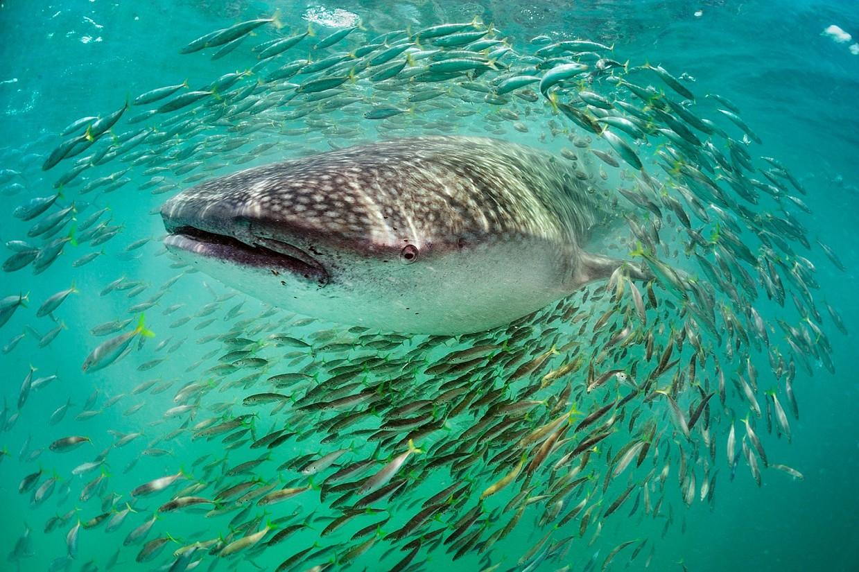 «Это самая большая рыба в океане. Я сфотографировал свою первую [китовую акулу] у берегов Западной А