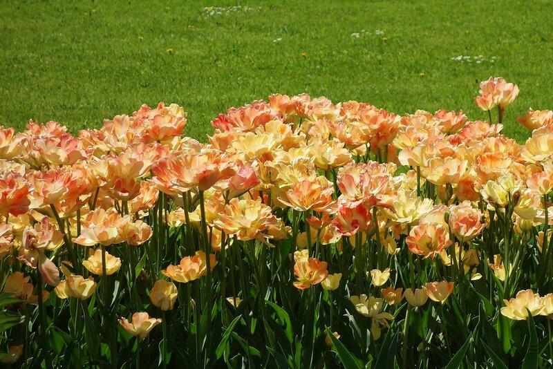 Тюльпаны Екатерининского парка