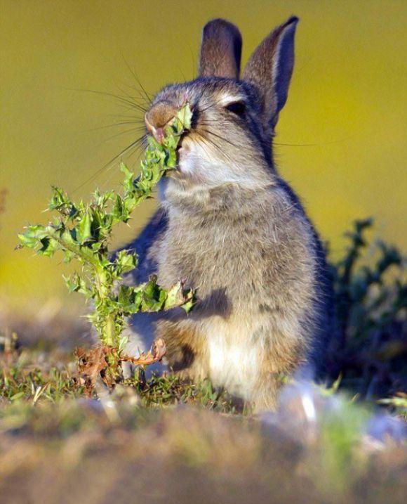 Кролик пожрал чертополоха
