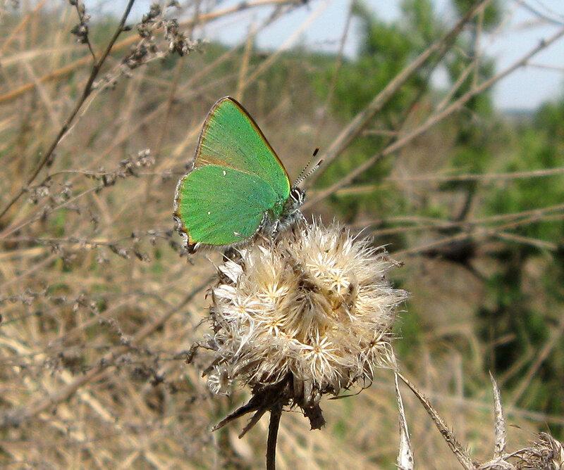 Голубянка малинная (Callophris rubi). Автор фото: Олег Селиверстов