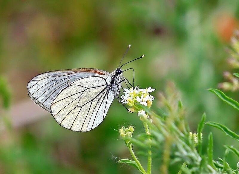 Бабочка-боярышница( Aporia crataegi), самка