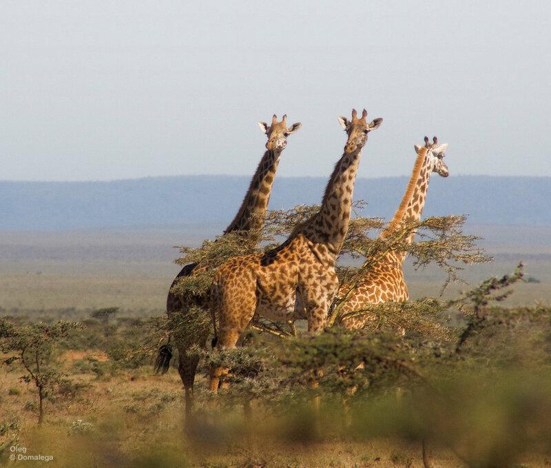 Жирафы Кении