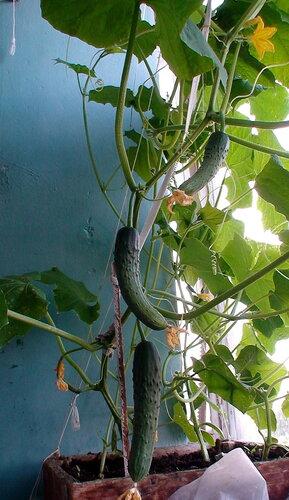 Как собрать хороший урожай огурцов