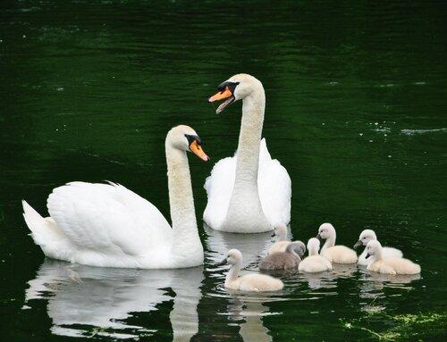 Удивительное чудо : семь пушистеньких,красивых милых сердцу лебедят! Один - се-рень-кий комочек - шесть - белесеньких ребят!!!