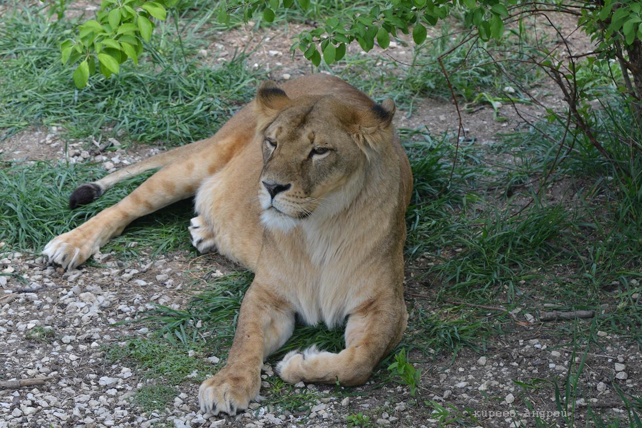 Парк львов Тайган.