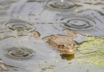 Лягушка под дождем