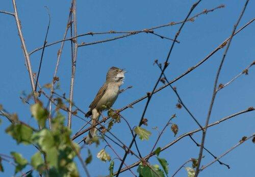 Камышёвка поёт