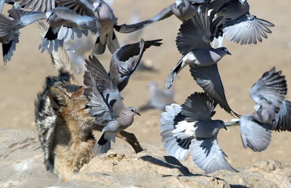 Охота шакала на голубей