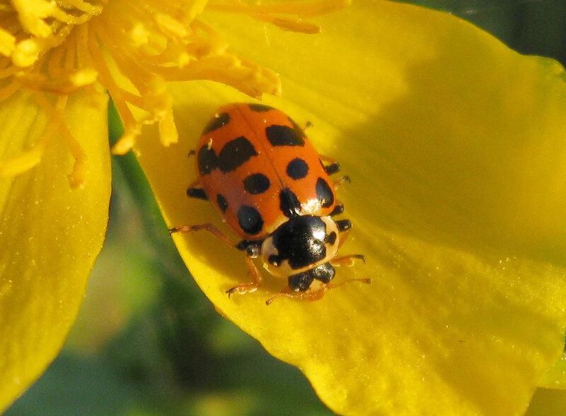 Коровка тринадцатиточечная (Hippodamia tredecimpunctata). Автор фото: Олег Селиверстов