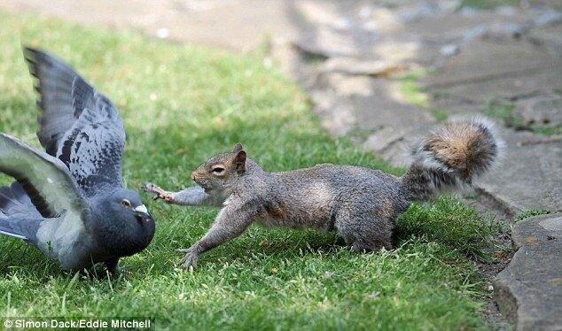 Наглый голубь хотел утащить у белки орешек, но она не позволила ему это...