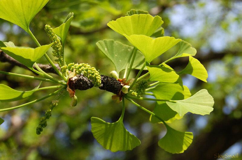 Листья дерева гинкго билоба