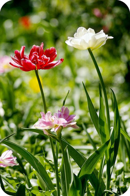 Пионотюльпаны