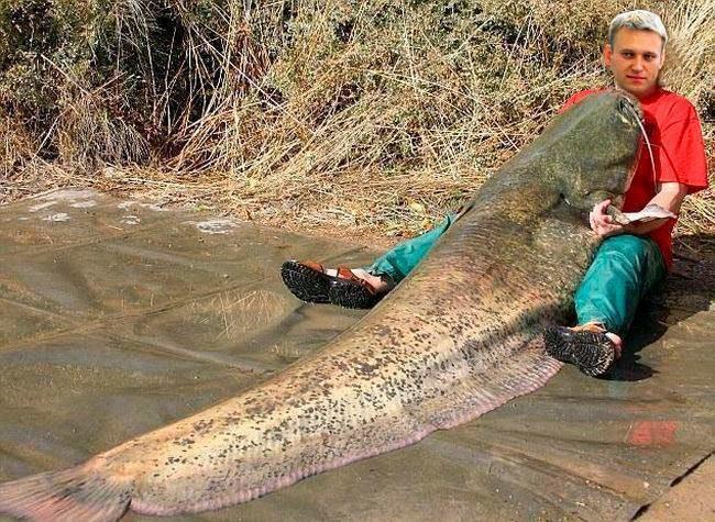 Гигантский меконгский сом живёт в пресных водах Таиланда. Он считается крупнейшим представителем сво