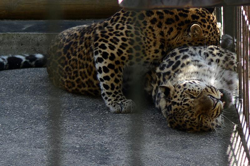 леопарды2
