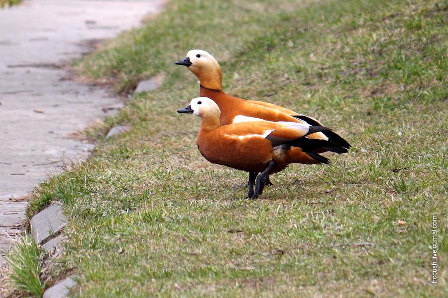 Красные утки