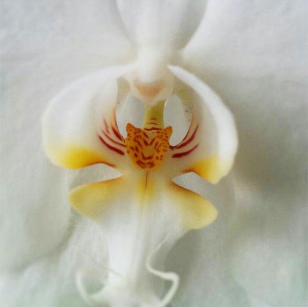 19. Орхидея-тигр
