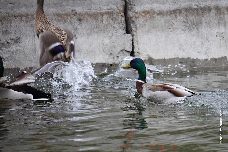 Самец кряковой утки прогонят пару крякв
