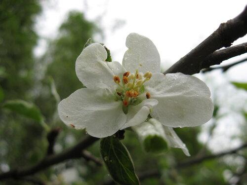 Цветок яблони