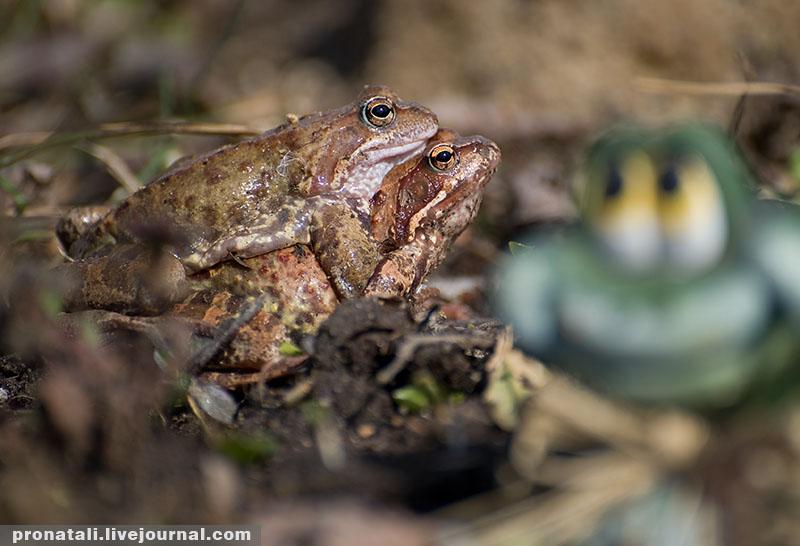 жаба брачный период