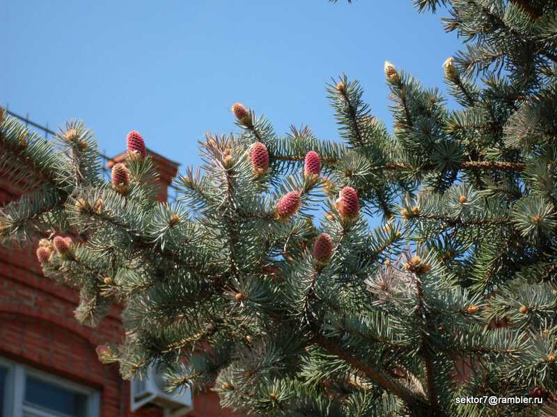 Скоро в Троицке зацветут ели