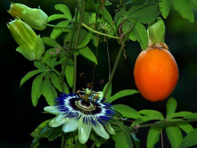 В лечебных целях используют плоды и цветки пассифлоры.  Препараты из этого растения подавляют передачу нервных...