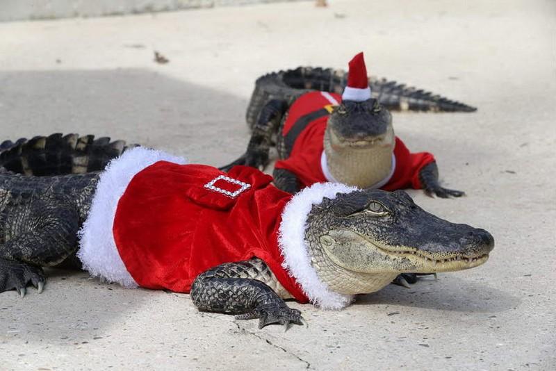 EXCLUSIVE: Santa, what big teeth you have! Alligators give Christmas petting zoo a Louisiana twist