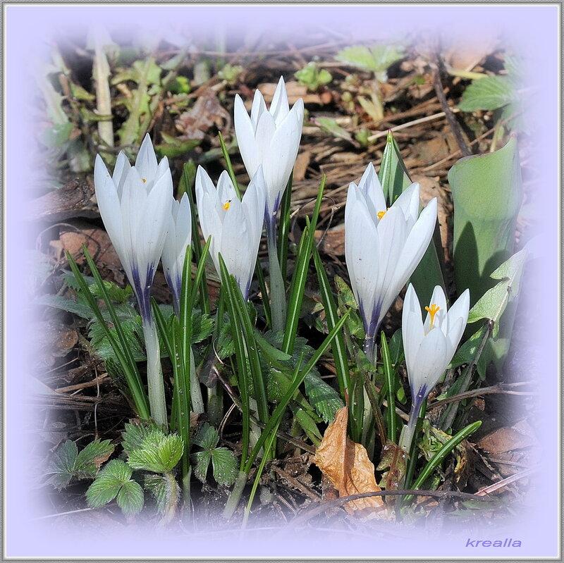 22 апреля 2010 года,16:12. цветы. вывесила фотку. природа. весна. макро. флора. крокусы. krealla. растения.