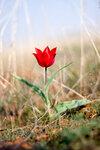 Цветут дикие тюльпаны