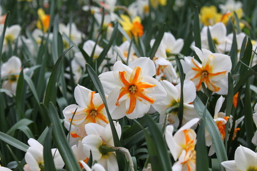 аптекарский огород, весна, цветы, нарцисы