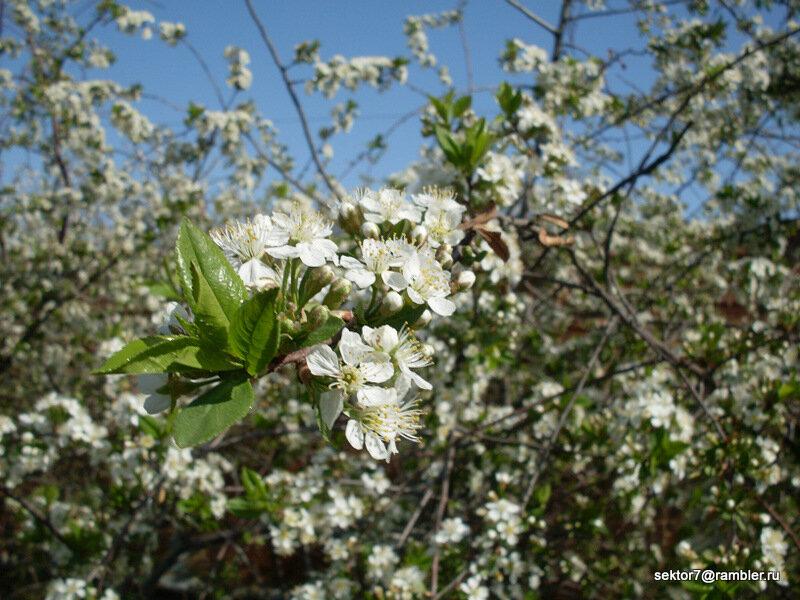 Несколько фотографий цветущих деревьев