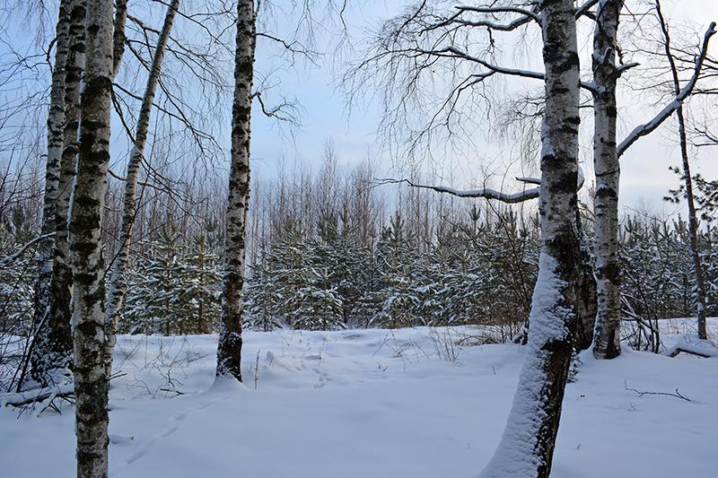зимний лес 14