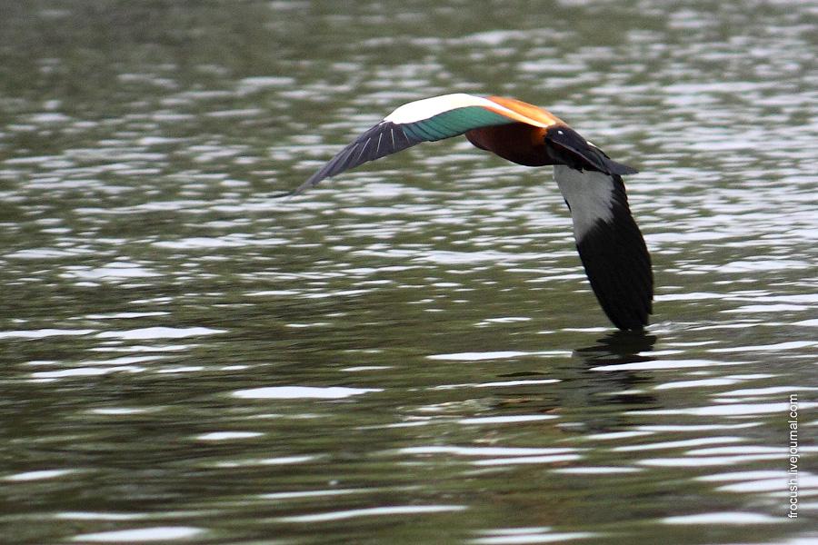 Летящая красная утка задевает крылом воду