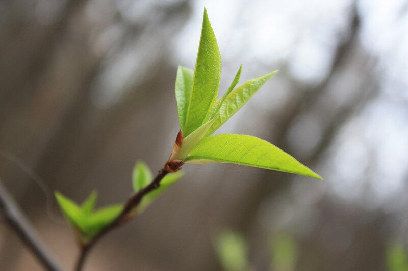 Молодые зеленые листья