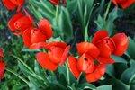 Апрельское пламя. Калининские тюльпаны