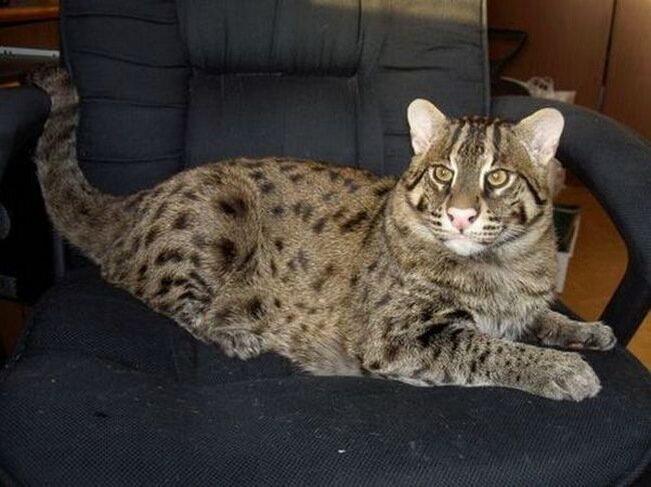 ...Род - Азиатские -кошки - Prionailirus Порода...