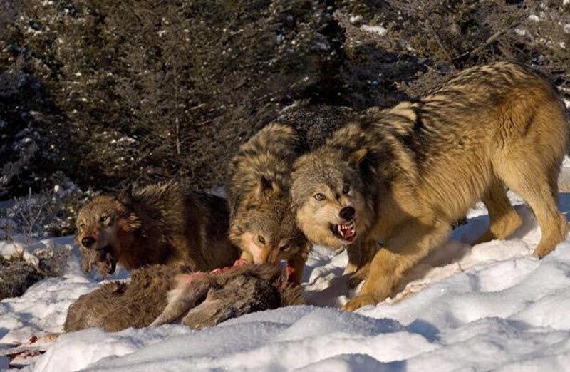 13 июля 2011.  5 комментариев. волки.  В этом снимке проглядывает образ последних известных катастроф в России.