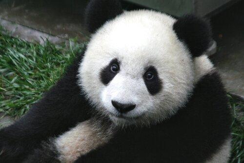 Популяция растет. Панды больше невымирающий вид